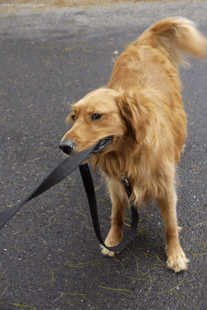 Penny tug o' war - golden retriever | stressbaking.com