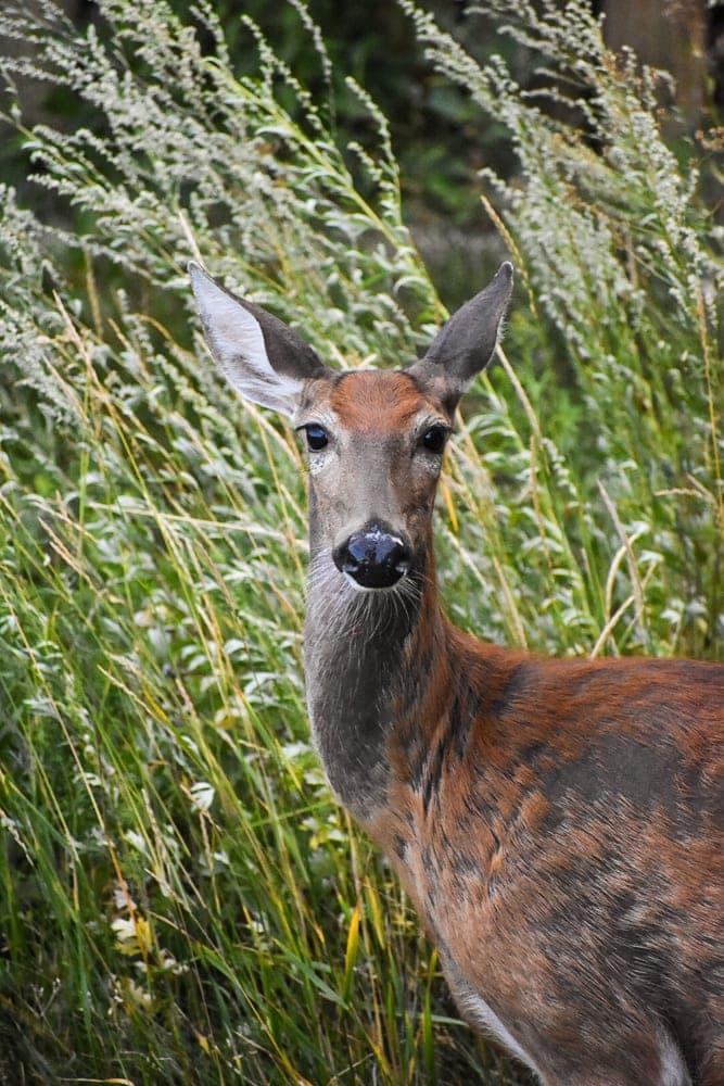 Darla the deer