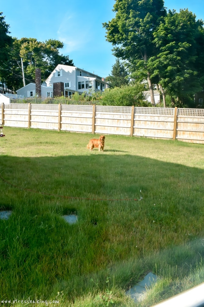 Golden retriever in yard with tall fence