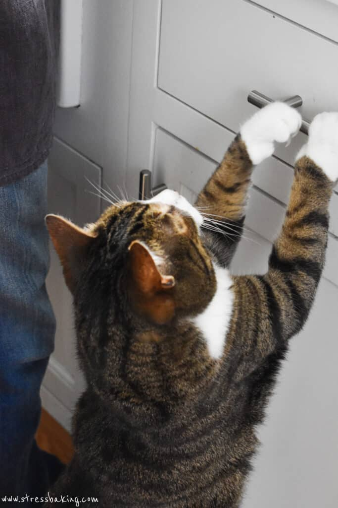 A black and brown American shorthair grabbing a drawer handle